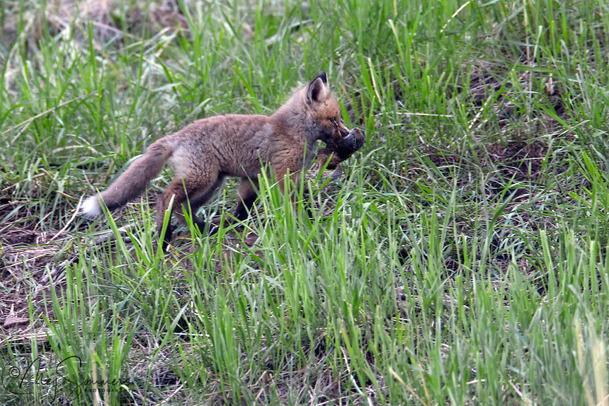 This fox (Vulpes vulpes) kit has a food prize and its not about to share it!