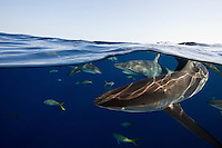 TH1213-D. Silky Sharks (Carcharhinus falciformis), split view perspective showing many sharks swimming just under the surface. These are pelagic sharks, usually found in the open ocean or at least far offshore in deep water. They feed on squid and a variety of fish including tuna. Cuba, Caribbean Sea. <br /> Photo Copyright &copy; Brandon Cole. All rights reserved worldwide.  www.brandoncole.com