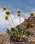 Panamint Daisy, Enceliopsis covillei. Wildrose Canyon, Death Valley National Park, California