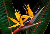 Bird of Paradise (stretlitzia reginae), a favorite island ornamental