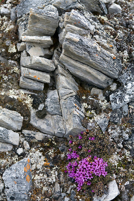 Flowering Purple Saxifrage and frost shattered rocks in Krossfjorden, Spitsbergen