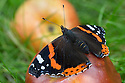 Red Admiral butterfly {Vanessa atalanta} feeding on rotten apple. Derbyshire, September.