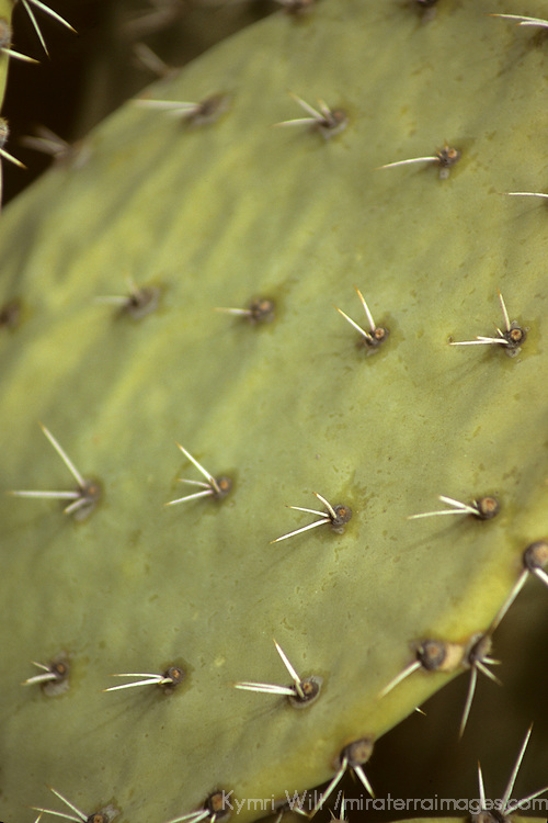 USA, Arizona, Tucson. Saguaro National Park (East). Prickly Pear Cactus.