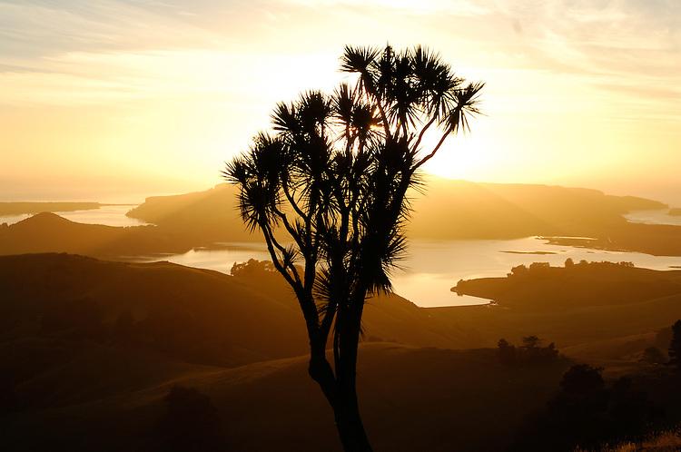 A cabbage tree silhouetted at sunrise. Towards Harbour Cone, Hoopers Inlet & Taiaroa Head. Otago Peninsula, Dunedin, New Zealand - stock photo, canvas, fine art print