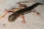 Supramonte Cave Salamander (Speleomantes supramontis in a cave, endemic to Sardinia, Italy