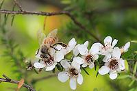 Bee on a manuka flower.