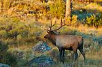 Bull Elk at Sunrise, Lower Mammoth, Yellowstone National Park, Wyoming