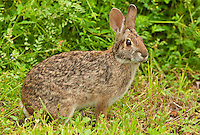 673390002 a wild swamp rabbit sylvilagus aquaticus sits in a grassy field in brazos bend state park texas