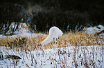Arctic Fox, Churchill, Manitoba, Canada