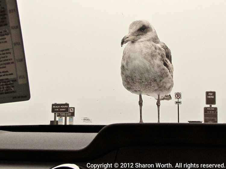 From its position on the car's hood, a gull peers through the windshield at the passenger perhaps checking to see if the day use fee has been properly paid at Pomponio State Beach.