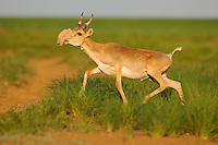 Saiga Antelope, Russia