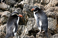 Camouflage - Snares Islands penguins