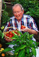 Senior man picking tomatoes from his vegetable garden.