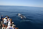 Whale watchers and humpback whale