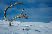 Spitsbergen reindeer antler