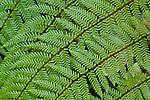 Fern fronds, Mount Aspiring National Park, New Zealand