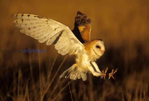 Barn Owl ,Tyto alba, landing with outstretched talons on prey. Threatened or endangered species in North America.
