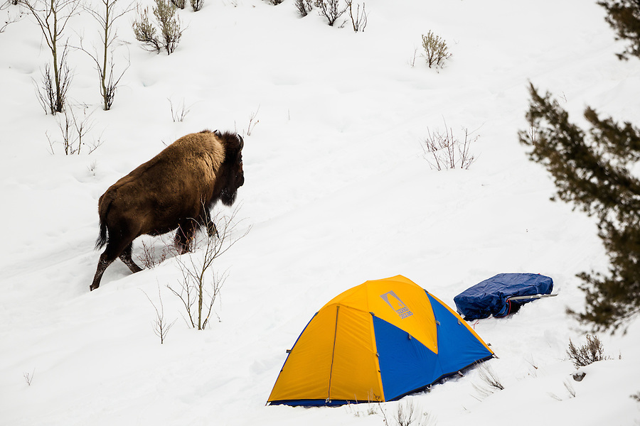 A single bison walks past a Sierra Designs 4-season Tiros-1 tent and a tarp-covered pulk in the backcountry of Yellowstone National Park, Wyoming in the winter.