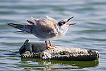 A juvenile Forster's tern calls out to beg for food