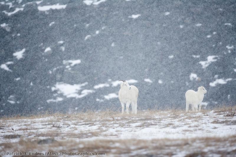 Dall sheep ewe and lamb in falling snow, Atigun Canyon, Brooks range, Alaska.
