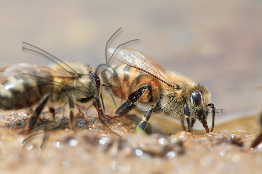 Near a pond's edge, a water-carrier bee collects the precious liquid.