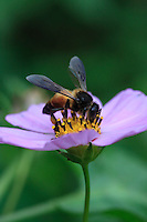 A giant beee on a Aster flower.