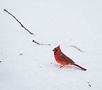 Merrick, New York, USA. January 23, 2016.  A male cardinal holds in its beak a black oil sunflower seed it found on the snowy ground, as the winter Storm of 2016 brings dangerous snow and gusting winds to Long Island, and Governor Cuomo bans travel, shutting down L.I.'s roads and railroads, due to hazardous conditions. Blizzard Jonas already dropped over a foot of snow on the south shore town of Merrick, with much more snow expected throughout Saturday and early Sunday.