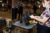 """Post-show clean-up: """"I put it up so she doesn't chew on it."""" Kennel Club Dog Show, Championship Purebred AKC, Graham Building, N.C. State Fairgrounds. Sunday, March 25, 2012."""