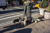 A dog walker with her dogs waits at a traffic light in Flatiron neighborhood of New York on Friday, January 18, 2013. (© Richard B. Levine)