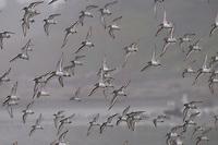 Fall Bird Migration - Kalaloch Beach - Olympic National Park - Washington State