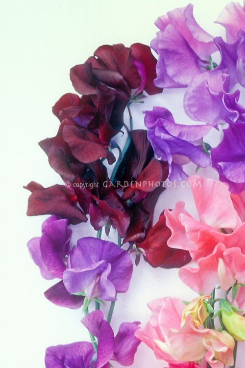 Lathyrus studio shot with white background, Sweetpea Midnight (dark red) and pink, lavender blue variety of sweet pea cultivars together, cut flowers