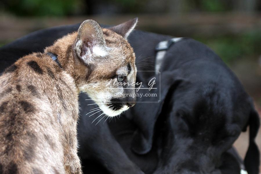 how to train a mountain lion dog