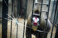 CHINA. Hubei Province. Wuhan. A baboon in an enclosure in Wuhan zoo. In many of China's 'second-tier' cities, away from the modern zoos in the megacities of Beijing and Shanghai, hide a plethora of smaller unknown zoos. In these zoos, what can only be described as animal abuse is subtly taking place in the form of deprivation of light, space, sanitation and social contact with other animals. Living in awful conditions, these animals spend there days entertaining tourists who seem oblivious to the animals' plight and squalid existence. 2008..