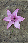 Pale pink flowerhead of Clematis Hagley hybrid lying with its stem on rough grey board