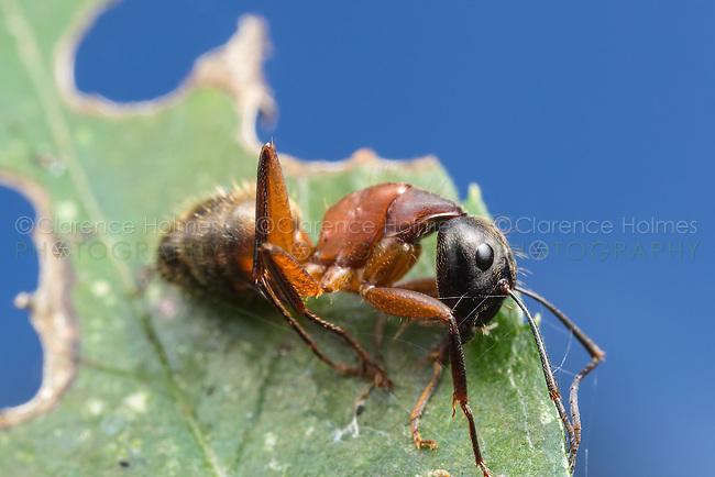 A dead Ferruginous Carpenter Ant (Camponotus chromaiodes) rests on a leaf.