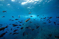 Tropical fish abound at the Shark Fin Rock Dive Site off of Cocos Island off the coast of Costa Rica.