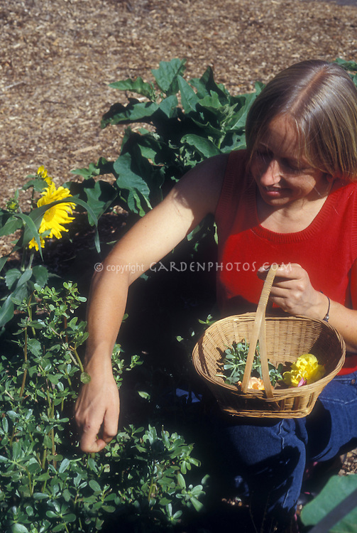Woman person picking gourmet purslane salad greens and edible flowers in vegetable garden with basket, gardening and harvesting