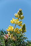 California wildflower travel: Yellow bush lupine at Point Reyes.Photo copyright Lee Foster.  Photo # cawild102445