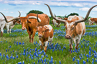 We capture this image with this family of Texas Longhorn and her calf plus friend who stopped to pose for this picture in the bluebonnets. The mother is on the right and when we came the first time she took her calf as far away as possible from us.  The second visit I guess did it.  We loved all the different version of horns and this calf with his little horns were just too adorable in this field of bluebonnets.