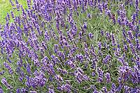 English lavender, Lavandula angustifolia in flower, fragrant perennial herb