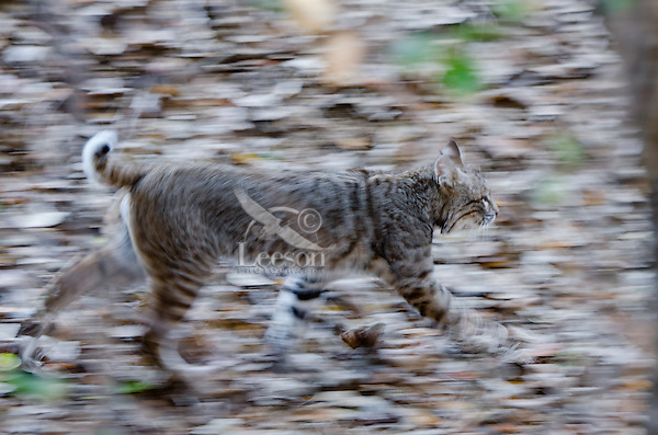 Wild Bobcat (Lynx rufus) walking though fallen leaves in Central California.  December.  (Completely wild, non-captive cat.)