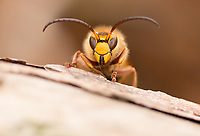Hornet male (Vesba crabro) at close quarters. Surrey, UK.