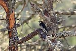 acorn woodpecker on pine