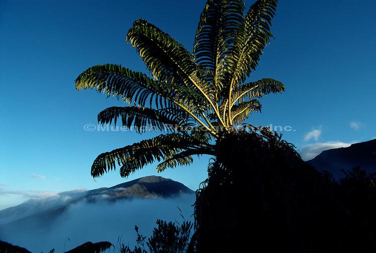 Amau fern Haleakala NP  HAWAII