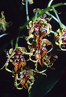 Dendrobium spectabile, orchid species, with twisted sepals and flamboyant red and gold veined hinged lip, bizarre looking commonly called The Alien Orchid, native to Papua New Guinea and Solomon Island