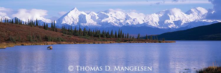 Moose forages for aquatic vegetation in Denali National Park, Alaska.