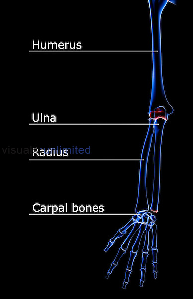 An anterior view of the bones of the right upper limb. Royalty Free
