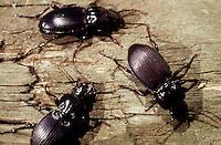 BEETLES<br /> Common Black Ground Beetle<br /> Pterostichus spp.