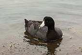 American Coot, Bolsa Chica wetlands, North America