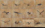 Northern Harrier Hunting Sequence, Bosque del Apache Wildlife Refuge, New Mexico